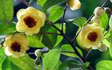 金花茶,植物界的大熊貓