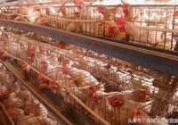 家禽養殖一波未平 一波又起