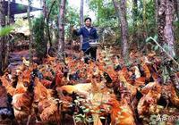 農村在山林養雞行不行呢?這樣做讓你的養殖獲得更大的成功多掙錢