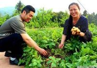 馬鈴薯新技術!稻草覆蓋種植馬鈴薯技術