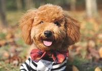 肝功能不全的狗狗怎麼飼養?該給狗狗吃點什麼
