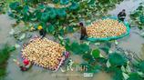 江蘇泗洪:流轉土地種蓮藕 共同走上致富路