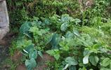 除了有機蔬菜,山裡人的菜園子裡還有這些你連名字都不知道的藥材