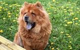 松獅犬——一個比肩哈士奇的犬類