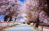 三月桃花開,林芝等你來,一起去看雪山下的桃花