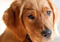 狗狗不會說出自己的痛苦,但會通過一些行為表現出來,寵主需瞭解