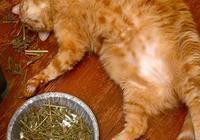 貓薄荷和貓草對貓有害嗎?