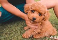 泰迪狗為什麼會咬主人?