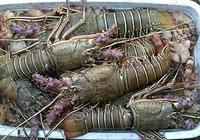 大西洋給中國遠洋漁業的饋贈-大西洋滑柔魚