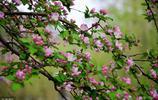 花之貴妃——海棠花