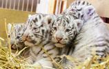孟加拉白虎四胞胎