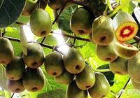 今年的紅心獼猴桃價格會長嗎?估計能銷多少錢一斤?