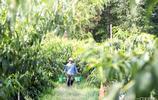 黃桃成熟了:假如你有一片桃林,如今你是這樣生活的