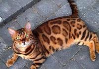 這就是傳說中的豹貓?怎麼越看越不對勁