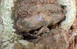 這種沉香樹雖小,結沉香堪比幾十年的沉香樹,做盆景誰都可以擁有