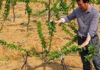 櫻桃的嫁接方法 櫻桃怎樣育苗?