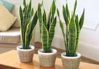 最具體的虎皮蘭養護方法!按我這樣養,不黃葉不爛根,還能開花!