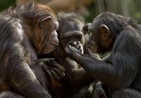 黑猩猩也有真正的利他主義
