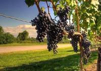 一瓶葡萄酒的誕生:從葡萄到葡萄酒