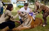 巴西一家養老虎當萌寵 這麼可愛的大貓請給我來一打