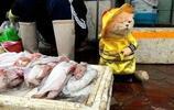 """越南""""黃袍貓""""靠賣魚成為網紅,果真優秀的貓咪都是別人家的!"""