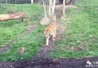 敢摸老虎的尾巴,老虎連同伴都虎吼開戰