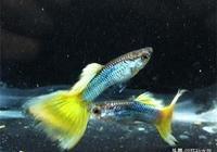 孔雀魚混養