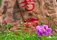 幸福長春 溫馨公園——芍藥,正豔!