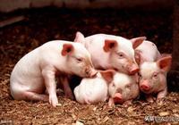 應對常見豬病,農村土方可不少,給大家介紹4種實用妙方
