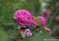 拍攝的花卉照片發灰,用PS攝影修圖軟件,怎麼快速去除?