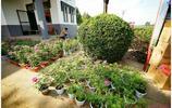 平陰玫瑰花還可以用盆栽