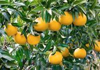 柑橘施肥方法和注意事項要點說明