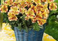 六出花,花似杜鵑,葉像百合,好養又漂亮,年年輕鬆開爆盆!