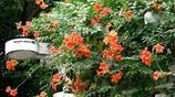 陽臺種上這些爬藤植物秒變花園,隔熱降溫不招蟲,不一樣的浪漫