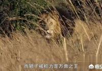 老虎打不過雄獅是因為雄獅有鬃毛防禦嗎?