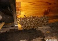 蜜蜂巢門結團怎麼回事?