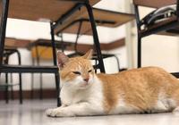 流浪橘貓被學校收養,卻因受寵而過度肥胖,校方被迫讓它提前畢業