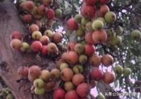 家裡有院子,千萬要種一棵這樣的果樹,高產易養活,想吃就去摘