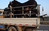 阿膠真的可以滋陰補陽?僅山東東阿每年就要殺400萬頭驢