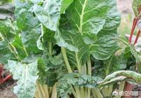 農民種的甜菜,可以用來做糖嗎?