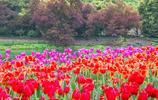 杭州太子灣公園鬱金香綻放迎春