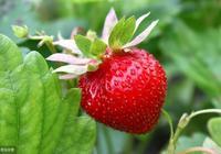 【草莓】草莓裂果是什麼原因?如何預防草莓裂果?