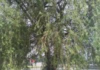 湖邊路旁的柳樹