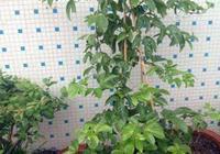 百香果只開花不結果,做一個小步驟,半月就掛果,爬藤快結果多
