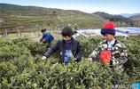 大山裡10歲娃週末採茶掙學費:這樣就不用跟父母要錢了!