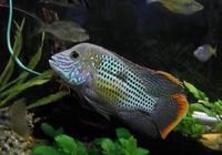 嘴巴越賤的觀賞魚,魚友們越容易養到爆缸,這是真的嗎?