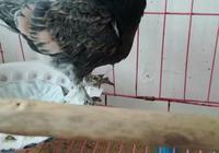 漂亮的鴿子