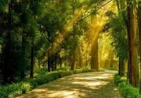 杭州臨安大樹王國,世界最大古柳杉群,乾隆曾親賜大樹王!