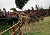 長頸鹿 濟南野生動物園