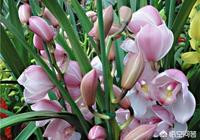 冬天從花市買的帶簡易盆的惠蘭怎樣上盆才能讓花劍和葉一樣高?